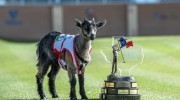 Meet Faaaabel the goat, Valero Texas Open's new unofficial mascot